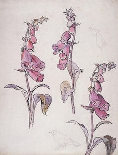 Beatrix Potter: Botanical Illustrations, V  Digitalis...(foxglove) a favorite that won't grow well in my shady garden. Someday sans a tree....