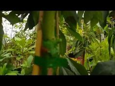 Grafting Avocados and Fruit Trees