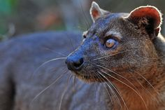 The Legendary Fossa in Madagascar - YouTube The Fossa is ready for mating around 4 years of age. The males have a large home range and they often have several females that will overlap with it. During mating season a female will give off a very strong scent that draws the male to her. After they mate they separate and he will go in search of other females to mate with. She will make sure she has a safe, secluded location for her young. They will be born in about 3 months.