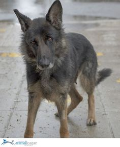 North Shore Animal League America Page Liked · April 21 · ·    Gracie is a 2-year old female German Shepherd and a recent puppy mill rescue. Gracie's adoption number is PM3430.