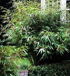 A great online nursery that sells the clumping bamboo!