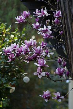<3 magnolias :)