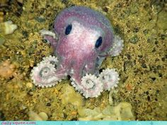 Google Image Result for http://urbanwander.files.wordpress.com/2011/03/cute-baby-animals-new-species-of-octo-squee.jpg