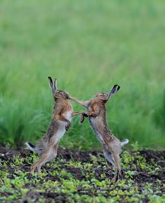 Feldhasen (Lepus capensis), cape hares by Wolfgang Lequen