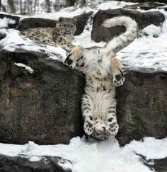 Acrobat cat. The hand standing Snow Leopard.