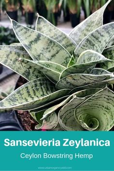 The Snake Plant or Sansevieria Trifasciata is a flowering plant that came from West Africa, which is a tropical place. Read Different Sansevieria (Snake Plant) Varieties To Identify What Types You Own