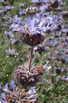 Salvia Pozo Blue flo