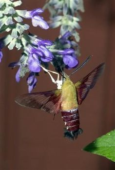 hummingbird moth - about half the size of a hummingbird, in flight, it's wings move just as rapidly. It drinks nectar from the same flowers. It even flexes its body in the same way. The only thing that gives it away are its legs. Beautiful Bugs, Beautiful Butterflies, Beautiful Flowers, Flying Insects, Bugs And Insects, Cute Moth, Baby Hummingbirds, Hummingbird Moth, Moth Caterpillar