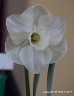 Narcissus 'Sea Legend' is a mid season daffodil from Division 2. This is a beautiful white daffodil, it glistens in the sunlight. This example was shown by John Goddard, as part of his daffodil collection, which was awarded first prize at The Daffodil Society Mid Southern Group Spring Show 2016.