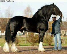 So huge! Im guessing a Shire.