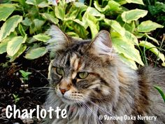 Charlotte - The Cats of Dancing Oaks Nursery - DancingOaks.com #gardening #cats #mainecoon