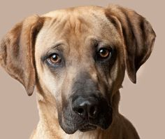 The Mountain Cur can be a wonderful companion for people of all ages. Read our complete guide to find out more about this wonderful breed. Black Mouth Cur Puppies, Mountain Cur Dog, Dog Breed Info, Dog Breed Names, Unique Dog Breeds, Leopard Dog, Puppy Dog Eyes, Dog Mixes, Loyal Dogs