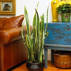 Snake Plant - great for under a pedestal sink in a no light bathroom