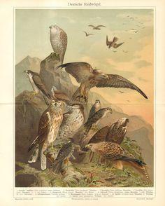 1903 Eagles Hawks Birds of Prey Raptorial by CabinetOfTreasures, $24.95