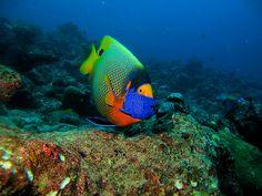 Blue mask angel fish