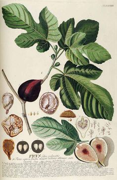 Ficus carica L. - edible fig - Trew, C.J., Ehret, G.D., Plantae selectae, vol. 8: t. 73 (1771) [G.D. Ehret]