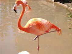 Another flamingo picture during my visit to the San Diego zoo