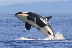 Majestic Orca (not killer whale) watching in Puget Sound, Seattle, WA  A must see for a marine life lover's bucket list!
