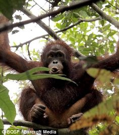 Scientists believe there could be just 45,000 wild orangutans left on the whole island of Borneo - a decline of 50 per cent in the last 60 years