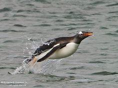 Porpoising Gentoo Penguin IMG_1939
