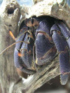 Coenobita purpureus hermit crab species description page