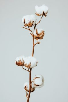 Download premium image of Dried fluffy cotton flower branch on a gray background by Kut about cotton flower, cotton plant, macro leaf, dry leaf, and minimal cotton 2332850