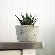 aloe party in cement planter