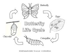 http://bluford.pbworks.com/f/1237921369/butterfly-life-cycle-l.gif