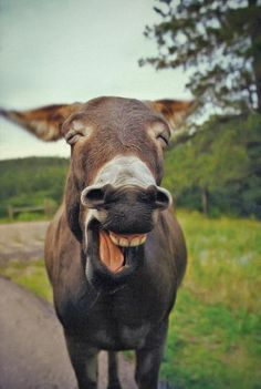 Lachende ezel.