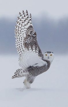 "beautiful-wildlife: "" Snowy Owl by Prince """