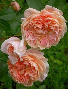~Colette rose. France Meilland 1994. Large flowered climber. Pink rose with a strong tea fragrance. Fiona (shrub rose meilland 1979 x Friesa ( floribunda Kordes 1973 )
