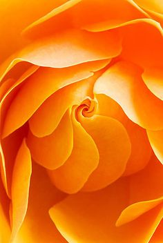 Close-up of the centre of an orange Rose (Rosa) Flower- Flickr - Photo Sharing!