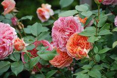 Die Strauch-Rose 'Chippendale' (Tantau, 2005) macht vor allem durch ein faszinierendes Farbspiel ihrer bis zu 10 cm grossen, gefüllten Blüten auf sich aufmerksam. Im Aufblühen erscheinen sie zuerst in Apricot, wanden sich dann über ein lachsfarbenes Dunkel-Orange in ein volles Rosa im Verblühen. Sehr schön wirkt diese duftende Rose auch auf einem Stamm veredelt. Foto: Kosara Andonova