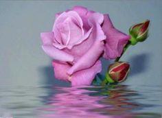 Imagenes Con Frases Bellas rosas