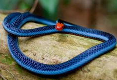 The Malayan coral snake is beautifully blue, but highly poisonous. It feeds largely on other snakes, tropical forests of Southeast Asia. Not exactly something you want to see ahead of us, but fortunately its color prevents it from camouflage.