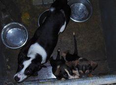 **URGENT**MOMA AND BABIES DUMPED AT SHELTER**NEED ADOPT OR RESCUE ASAP!  *****NO FEE for RESCUE or ADOPTION******  Adoption application link::: http://www.calhouncounty.org/animal/forms/Application%20for%20adoption.pdf  CALHOUN ANIMAL SHELTER, ALABAMA