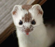 This stoat has such a cute little tongue!