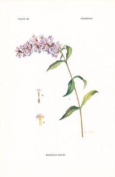 THIS. 1917 Botany Print - Buddleia Davidi - Summer Lilac Butterfly Bush - Vintage Antique Flower Art Illustration Book Plate for Framing