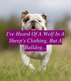 Search for a Reputable Bulldog breeder. Thoughtlessly reproduced English Bulldog pups marketed are a dime a dozen and are more than likely to have hea...