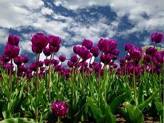 HDTulips Tulip Field Nature Wallpaper Download