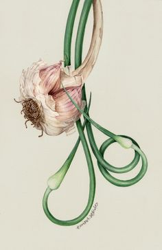 Botanical Portrait - Just Garlic - Bulb and Scapes by Eunike Nugroho Botanical Drawings, Botanical Art, Illustration, Science Illustration, Drawings, Scientific Illustration, Watercolor Flowers, Vegetable Illustration, Botanical Watercolor