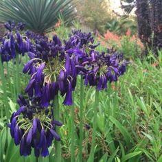 Plants for Full Sun Australian Plants Online Small Purple Flowers, Fast Flowers, Lavender Flowers, Colorful Flowers, Agapanthus Plant, White Agapanthus, Purple Flowering Plants, Foliage Plants, Full Sun Plants