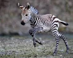 Nothing cuter than a baby Zebra!