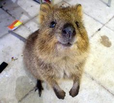 Adorable quokka!