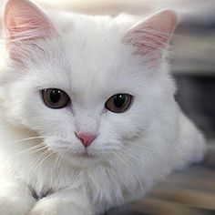 CAT WHITE!!! #catwhite #beautufulcat #katycat by tysour on Flickr.