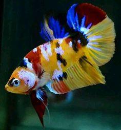 Betta Fish Types, Betta Fish Tank, Beta Fish, Aquarium Fish Tank, Goldfish Aquarium, Koi Betta, Fish Tanks, Beautiful Sea Creatures, Animals Beautiful