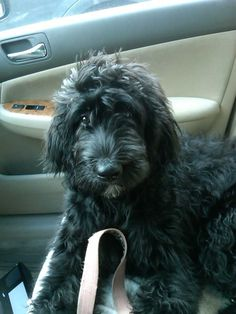 Bernedoodle..part Bernese Mountain dog and Poodle...Tiger!!