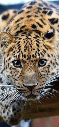 """""""ABSOLUTELY BEAUTIFUL""""!!!!! #beautifulcat"""