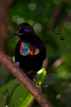 Six-wired bird of paradise (Parotia lawesii)  Check out the mating dances of birds of paradise on youtube.  Hilarious!!!!