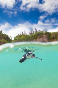 waasabi:  Baby Sea Turtle OkinawabyPete Leong. LOVE sea turtles. They warm my heart.